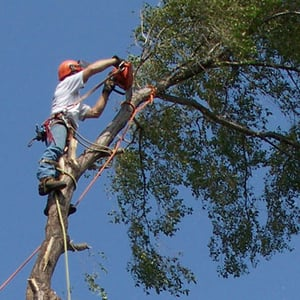 One of our arborists climbing a tree while completing a tree removal service